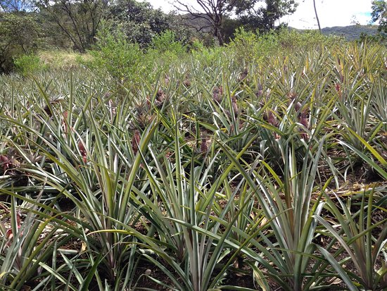 Quellomayo, Peru: Plantation d'ananas