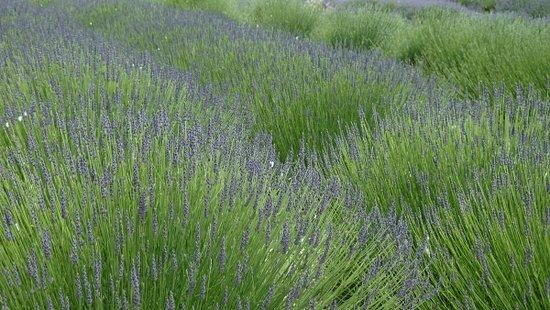cheristow lavender garden