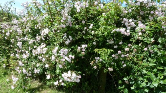 cheristow lavender rambler hedge