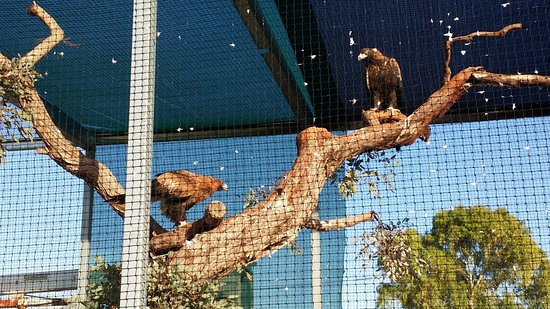 Eucla, Australie : rescued eagles