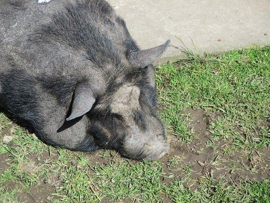 Comrie, UK: piggie enjoyng sunny day