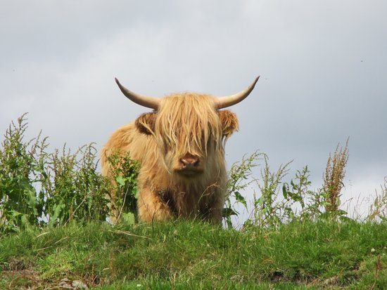 Comrie, UK: lovely highland cow