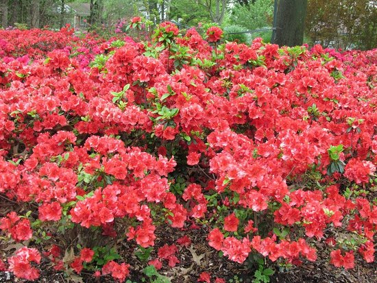 Muskogee, OK: Red-orange Azalea @ Honor Heights