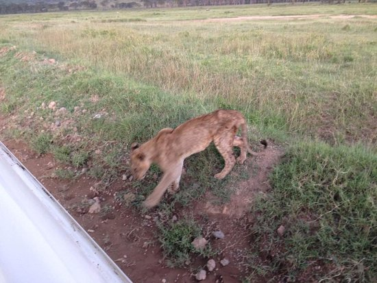 Lake Nakuru National Park, Kenia: Mother Nature live, ill lion which was breakfast next day.