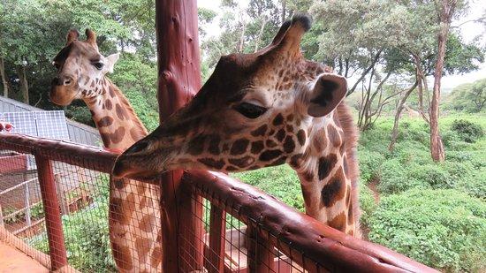 African Fund for Endangered Wildlife (Kenya) Ltd. - Giraffe Centre: feeding at eye level