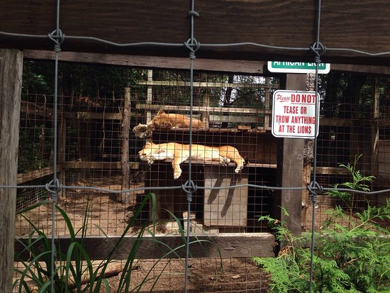 Sault Ste. Marie, Canada: Small enclosure that two lions have the misery of enduring their lives in.