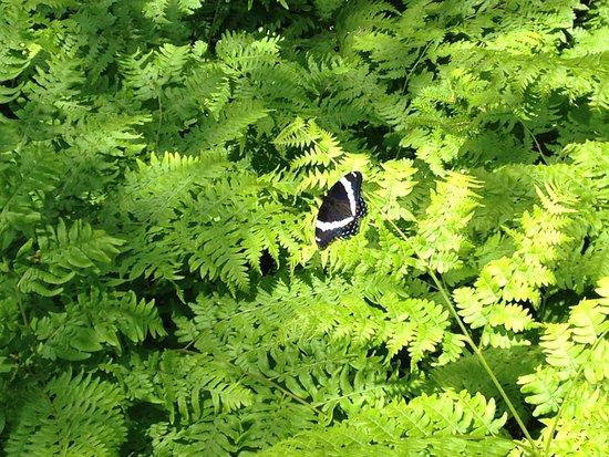 Бангор, Мэн: A butterfly among the ferns