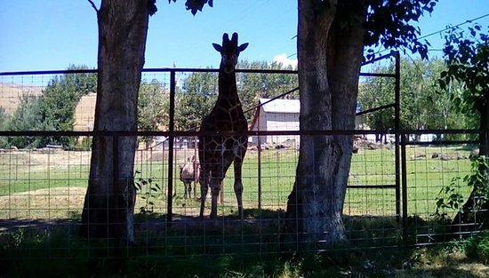 Lyle, WA: A lovely giraffe!