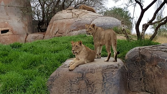 Escondido, CA: Lions in the early morning, right in the front of the viewing area