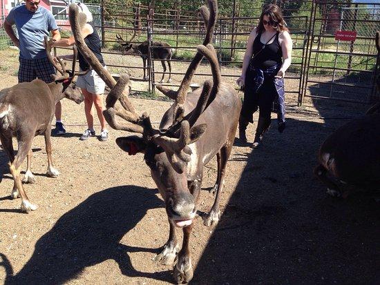 Reindeer Farm: Awesome friendly reindeer