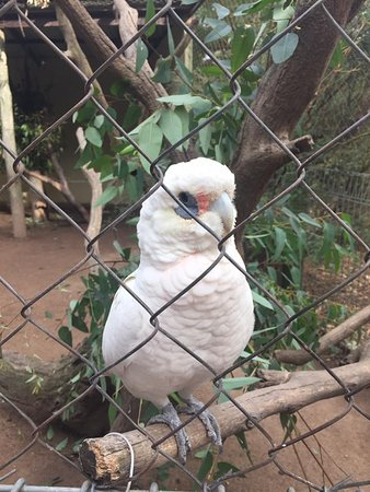 Nowra, Australia: Harry, the talking Corella