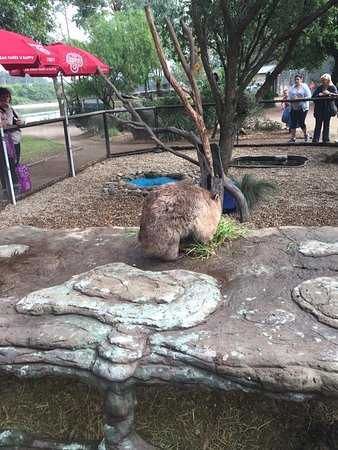Nowra, Australia: Wombat in the Furry Friends show