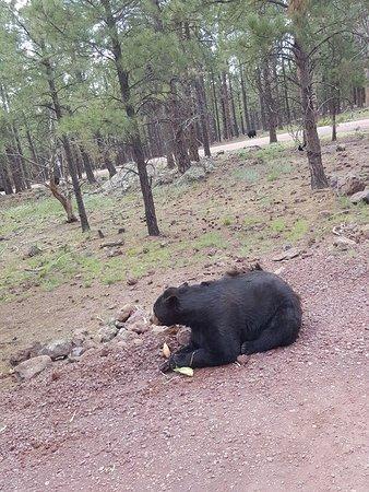 Williams, AZ: Black Bear