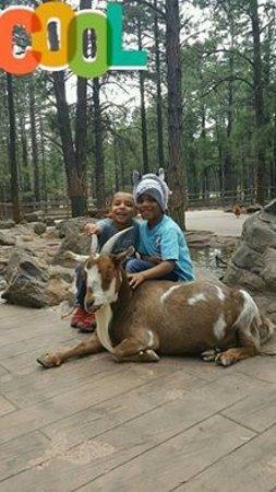 Williams, AZ: Goats or Ram in petting zoo area