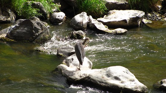 Smith Rock State Park: Heron looking for lunch in the Crooked River