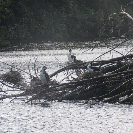 ZEALANDIA Sanctuary : Nesting shags