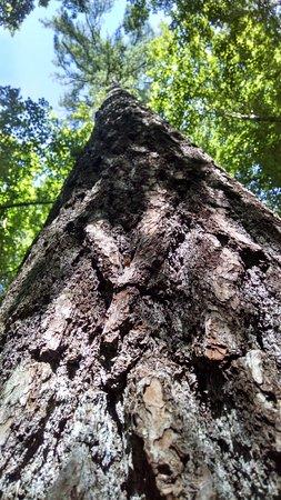 Grayling, MI: Tall timber