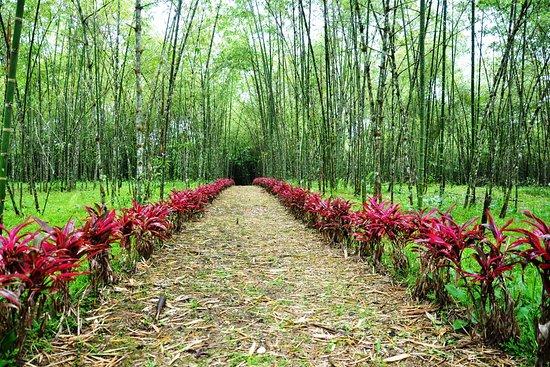 Cultivo bamb guadua picture of hosteria finca el pigual puyo tripadvisor - Cultivo del bambu ...