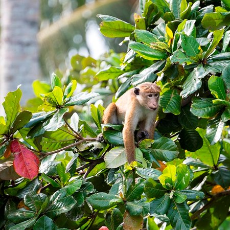 Dikwella, Sri Lanka: Entertaining monkeys outside your bedroom