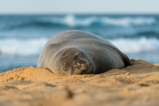 Oahu's North Shore, HI: Cute Monk Seal getting some sun on the North Shore, O'ahu.