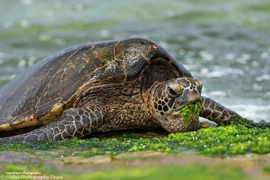 Oahu's North Shore, ฮาวาย: The Hono (Green Sea Turtle) grabbing a snack before her next swim.
