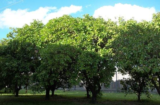 Donna, TX: Grapefruit Orchard
