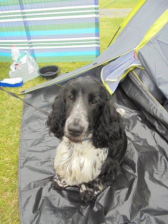 Poughill, UK: Brae guarding his tent!