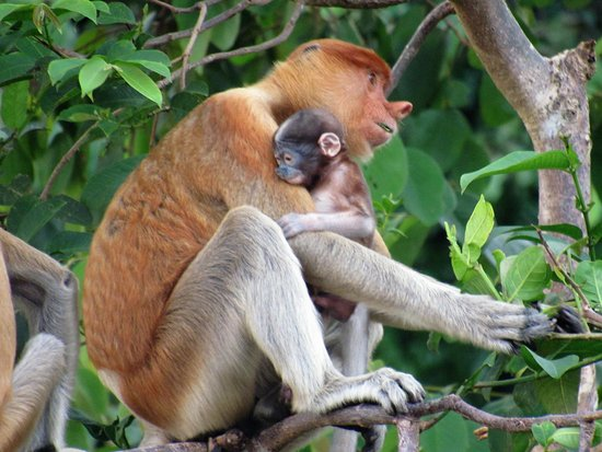 Kinabatangan District, Malezya: Female & Baby Proboscis monkey