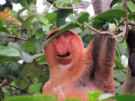 Kinabatangan District, Malezya: Male Proboscis monkey