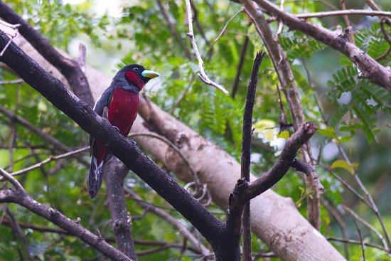 Чаам, Таиланд: Black and Red Broadbill