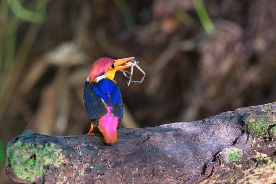 Чаам, Таиланд: Black-backed Kingfisher
