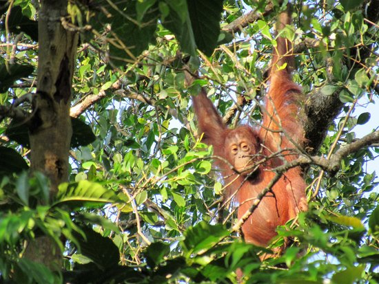 Abai Jungle Lodge: orangutan