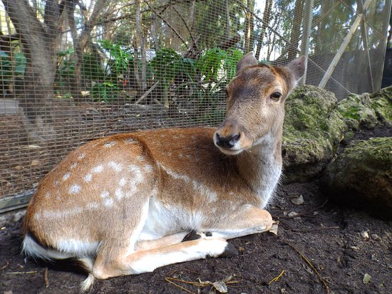 Pinjarra, Australia: Deer