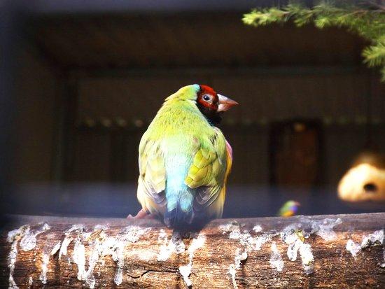 Pinjarra, Australia: Goulding finch