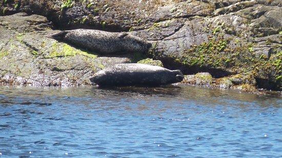 Madeira Park, Canada: Seals