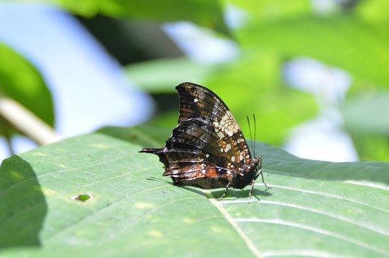 Guapiles, Costa Rica: Mariposa en los jardines