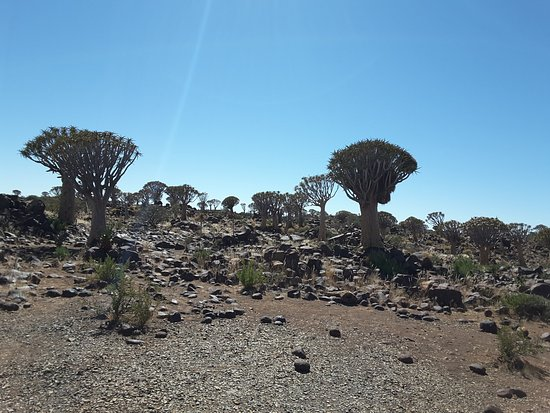 Keetmanshoop, Namibia: quiver tres