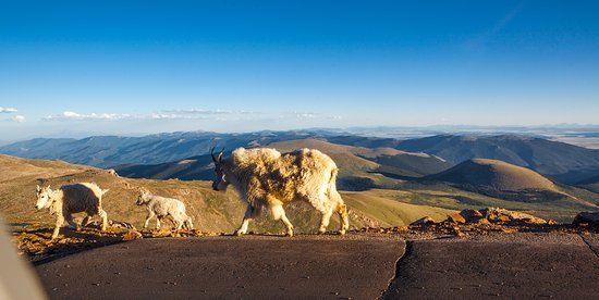 Mount Evans: Mountain goats hanging around the road