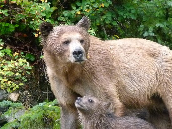 Knight Inlet Lodge: Amber and cub