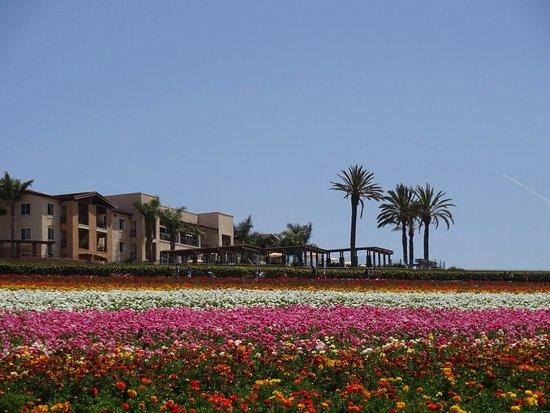 Carlsbad Flower Fields照片