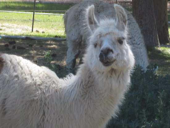 Sisters, OR : Hangin' with the llamas
