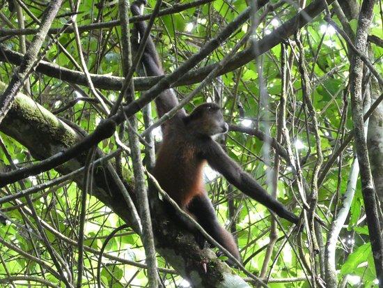 Carate, Costa Rica: Squirrel monkey