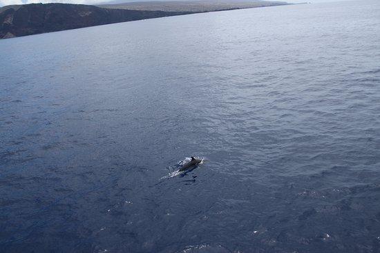 Maalaea, Hawái: dophin