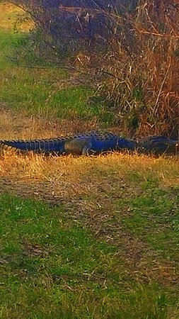 Micanopy, Флорида: Alligator on the trail