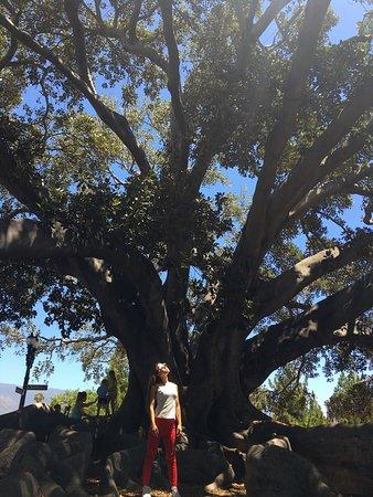 Moreton Bay Fig Tree : photo0.jpg