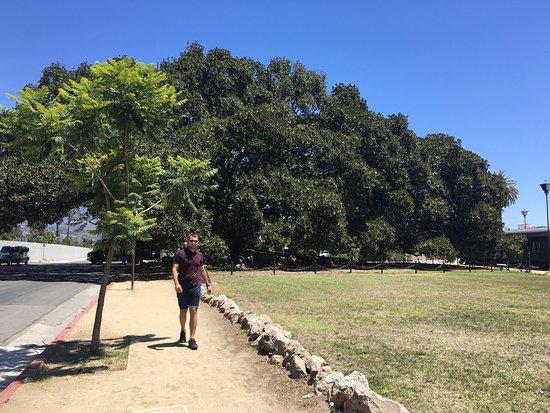 Moreton Bay Fig Tree : photo1.jpg