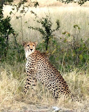Hwange, ซิมบับเว: This mother cheetah had 5 cubs with her