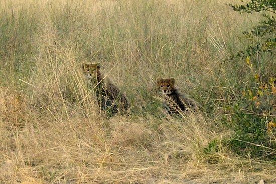 Hwange, ซิมบับเว: Cheetah cubs
