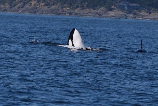 Friday Harbor, WA: Here they come, beautiful whales !!!