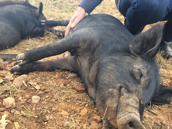 Clifton, VA: Happy pigs